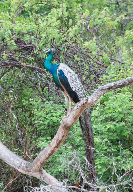 :Sri Lanka:Шри Ланка Галерея:Indian Peafowl_-6.jpg